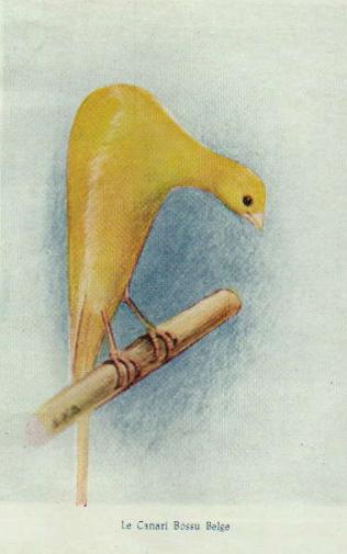 bossu belga 1 1955 (anthologie canaricole)