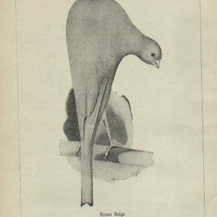 bossu belga 1955 (anthologie canaricole)