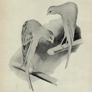 SCOTS FANCY , ANTHOLOGIE CANARICOLE, 1955